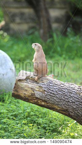 Lillte Prairie Dog On A Tree