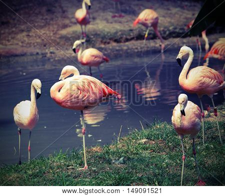 Pink Flamingos Are Resting On One Leg