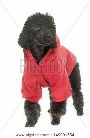 dressed black poodle in front of white background