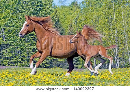 Beautiful chestnut Arabian Mare with few week old Foal galloping in spring meadow.