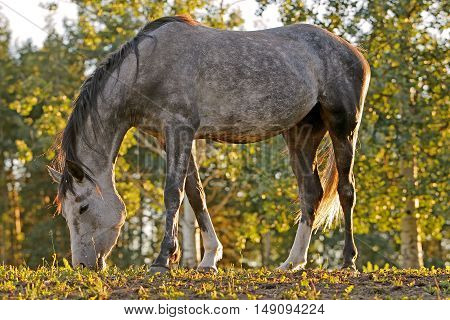 Young grey dapple Arabian Mare grazing in pasture.