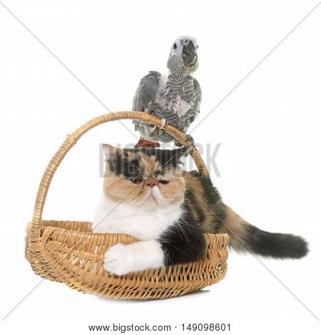 baby gray parrot and cat in front of white background