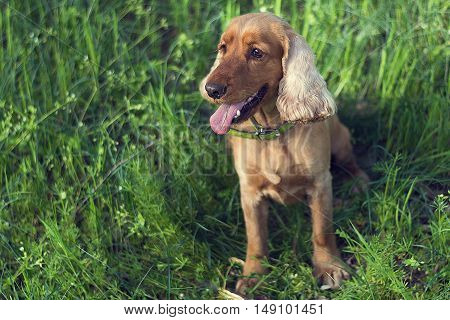 dog breed English cocker spaniel sitting in a clearing in the grass