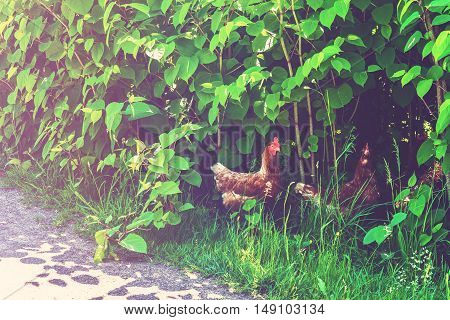 Chickens Walking Free In The Nature