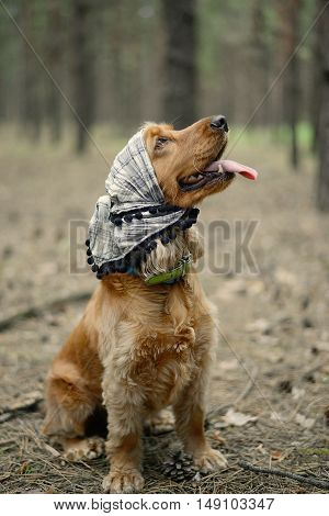 dog breed English Cocker Spaniel wearing a hat sitting in the forest