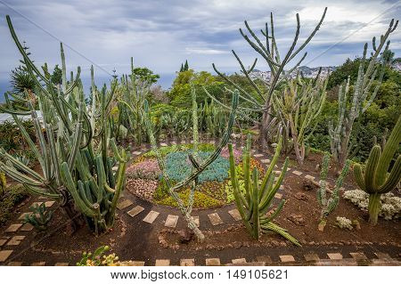 Huge cactus are growing at Botanical Garden in Funchal. Madeira island, Portugal.