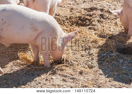 Pink Piglets Looking For Food
