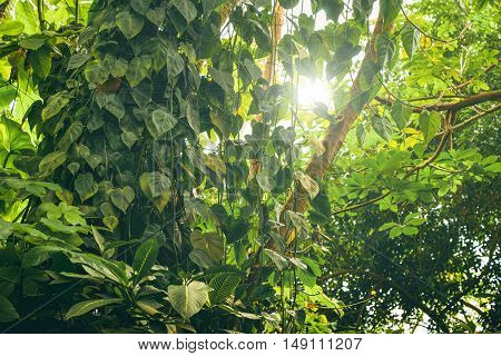 Rainforest with green vegetation and sunlight in the summer