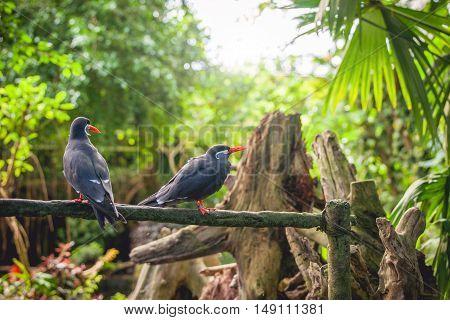Inca Tern On A Fence