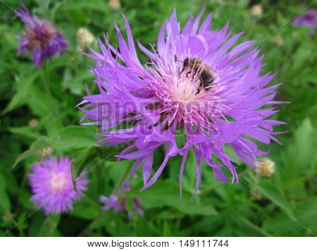 Summer Lilac Flower Insect Honeybee Bumblebee Bombus