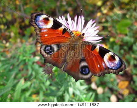 Summer Flower Insect Nectar Butterfly European Peacock
