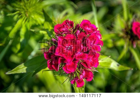 Closeup of an almost overblown scarlet flower of a Sweet William or Dianthus barbatus plant on a sunny day in the summer season.
