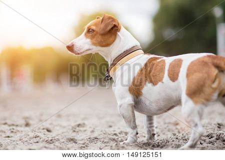 Jack russel looking attentively. Close up portrait