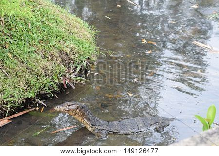 A Komodo Dragon appearing on the river