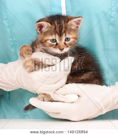 Cute little kitten in hands at the veterinarian over light-blue background