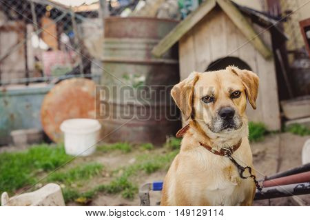 Dog on chain, doghouse, rural environment. Poland.