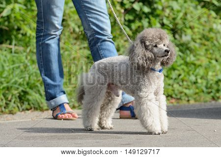 image of gray poodle with a mistress on the street