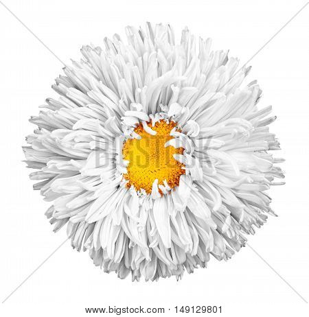 White Aster Flower With Yellow Heart Macro Photography Isolated On White