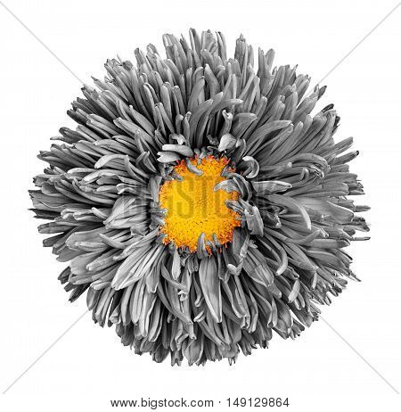Grey Aster Flower With Yellow Heart Macro Photography Isolated On White