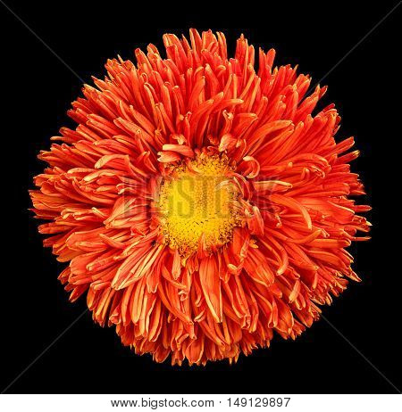 Orange Aster Flower With Yellow Heart Macro Photography Isolated On Black