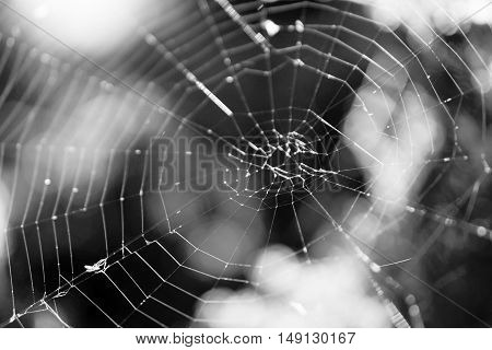 Cobweb On A Bush In The Forest Macro Photo Black And White