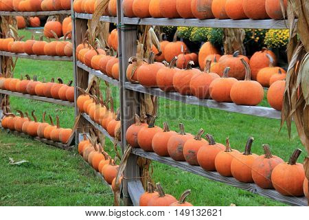 Rustic wood shelves with several small pumpkins displayed on them, easy for shoppers to pick from and bring home to decorate for the holidays.