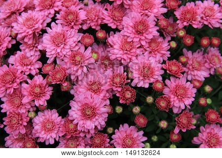 Gorgeous pink asters, with petals open to the warm Fall sunshine.
