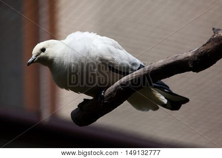Pied imperial pigeon (Ducula bicolor). Wildlife animal.