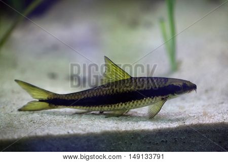 Red-algae eater (Crossocheilus langei). Wildlife animal.