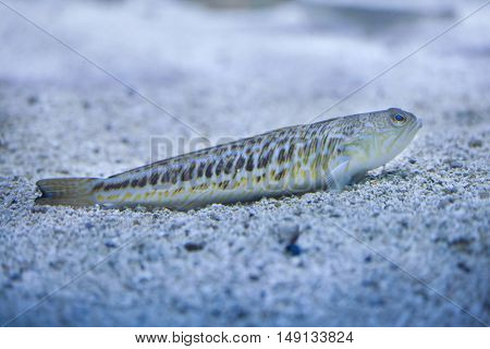 Greater weever (Trachinus draco). Marine fish.