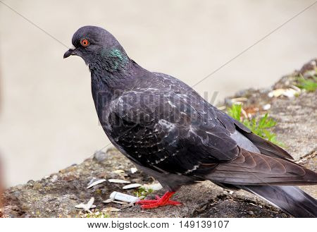 Pigeon. Grey pigeon shooting on the street.