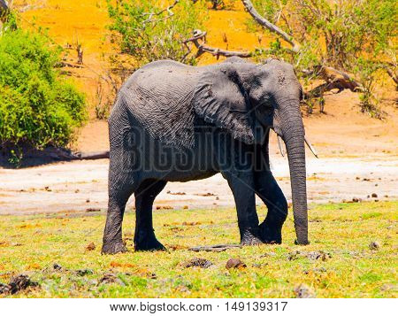 Huge african elephant standing in the grass in Chobe riverfront of Chobe National Park in Botswana. The park is known for its spectacular elephant population.