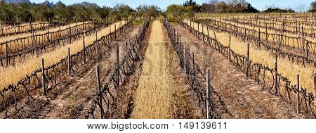 Landscape with bare brown Vineyard in Winter