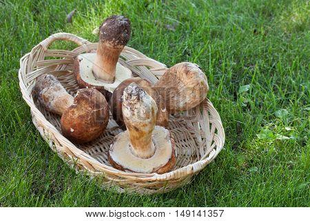 Basket With Fresh Porcini