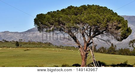 Landscape with Mountains a Pine tree and sheep