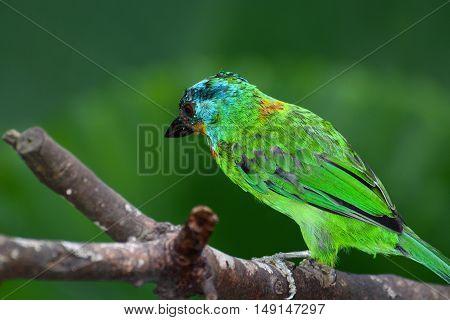 Beautiful brilliant plumage of a Taiwan barbet, or Psilopogon nuchalis