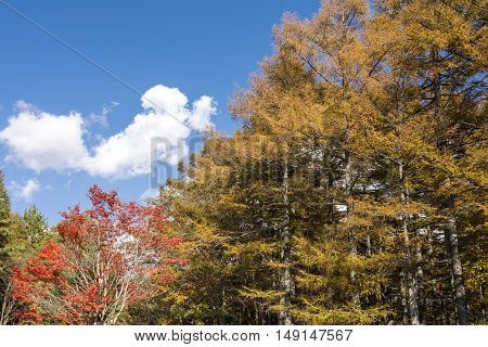 Autumn larch and maple tree under sky