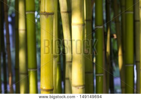 Closeup image of a bamboo inter node cane with sunlight.