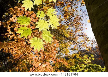 Green maple leaves(Acer japonicum) in front of autumn color leaves