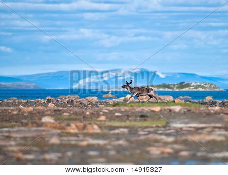 Reindeer by the Arctic