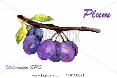 Hand drawn watercolor plum isolated on white background. Vector illustration of fruit plum for design
