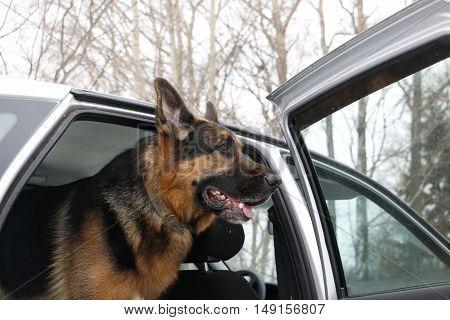 German Shepherd Dog In The Car In Winter Day