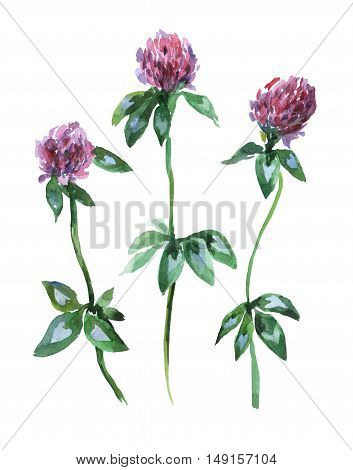 Meadow pink clover trefoil. Set of watercolor flowers isolated on the white background.