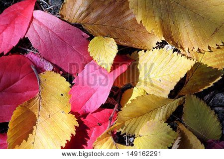 Autumn beech and grape leaves in red and yellow shades.