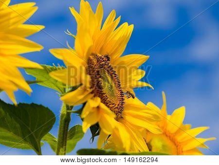 Honeybee hive harvest floral pollen from heliotrope.