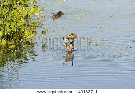 Female Wood Duck stretches its wings in early morning ritual