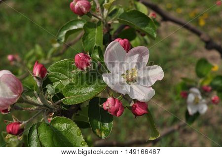 flower, bud, branch, spring, delicate, white, pink, sky, tree