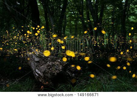 Fireflies/ Night in the forest with fireflies