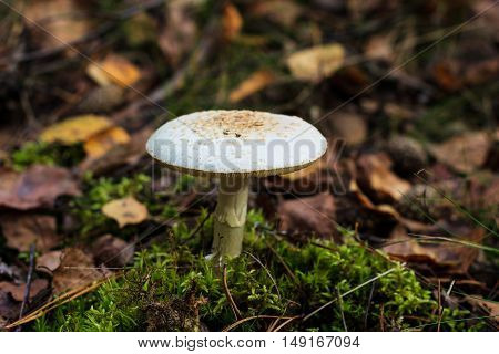 Pale Toadstool In Autumn Forest