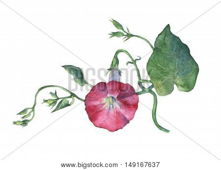 Pink Morning Glory (Field Bindweed, Convolvulus arvensis) flowers. Hand drawn watercolor botanical illustration. Decorative floral element for design of print, romantic invitation, decoration, similars or pattern.